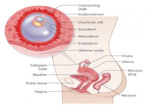 Pregnancy Week 4